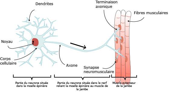 """Résultat de recherche d'images pour """"transmission synaptique neuromusculaire"""""""